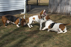IMG_6119 (BFDfoster_dad) Tags: hound basset