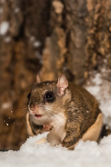 Southern Flying Squirrel Feeding at Night in Michigan (Lee Rentz) Tags: winter wild usa snow tree nature animal night america forest dark mammal rodent oak eyes woods midwest nocturnal darkness feeding snowy michigan wildlife climbing nighttime bark trunk northamerica behavior redoak centralmichigan bulging midwestern southernflyingsquirrel quercusrubra midmichigan glaucomysvolans assapan mecostacounty