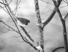 (Matt Tighe) Tags: blackandwhite snow bird nature monochrome birds outdoors nikon wildlife monochromatic annapolis lightroom gonavy d3100 nikond3100