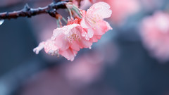 Happy Weekend! (Ted Tsang) Tags: flower tree nature rain spring bokeh olympus  droplet sakura cherryblossoms macroshot lugu  em1 nantou    40150mmf28