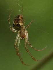 Orb Stretch Spider Meta Mengei aka Metellina Mengei (Feggy Art) Tags: city lake macro canon garden lens spider meta orb stretch 100mm 6d welwyn digswell mengei metellina