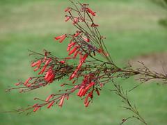 starr-070320-5729-Russelia_equisetiformis-flowers-Sun_Yat_Sen_Park_Keokea-Maui (Starr Environmental) Tags: russeliaequisetiformis