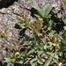 creeping glowwort, Sibbaldia procumbens