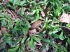 starr-091104-9057-Castanospermum_australe-fruit_on_ground-Kahanu_Gardens_NTBG_Kaeleku_Hana-Maui (Starr Environmental) Tags: castanospermumaustrale