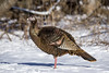 Dindon sauvage (un peu) / Wild turkey (a bit) (Roy Yves) Tags: gertrude wildturkey châteauguay dindesauvage yvesroy héritagestbernard