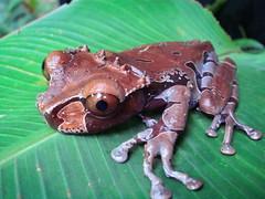 Anotheca spinosa (venomenonphotography) Tags: costa nature animal wildlife amphibian rica frog spinosa anotheca