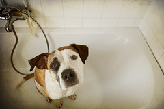 poorest little doggy (Jutta Bauer) Tags: dog bathroom bath edgar boxermix pitbullmix