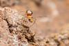 Tetragnathidae. Genus Leucauge. (David Ball.) Tags: singapore arachnid tetragnathidae leucauge canon270ex
