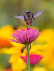Jump on! (rvtn) Tags: pink flowers flower bird nature birds yellow hummingbird birding zinnia rubythroatedhummingbird