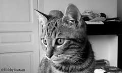 Loopy (hobbyphoto18) Tags: blackandwhite bw animal cat chat noiretblanc nb blacknwhite chaton