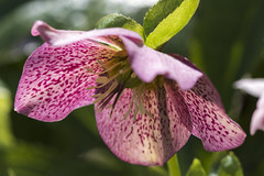 Helebore flower (Scott DeSelle) Tags: pink flower canon portland acratech reallyrightstuff bishopsclose rrs helebore canonef100mmf28lisusm eos7dmarkii