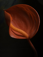 Orange Anthurium (Bill Gracey) Tags: orange flower color nature fleur blackbackground colorful shadows sandiego flor araceae naturalbeauty softbox softlight directionallight offcameraflash lastoliteezbox orangeanthurium yongnuorf603n yn560iii
