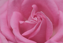 Sweet pink (pinkpixel (Slava)) Tags: pink roses flower macro nature floral beautiful beauty closeup flora soft pretty pattern sweet pastel awesome naturallight romantic flowering organic slava flowerhead awesomeblossoms svetoslavaslavova