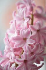 Hyazinthe - Hyacinthus 'pink pearl' (chrissie.007) Tags: pink flower spring blossom rosa hyacinth hyacinthus hyazinthe pinkpearl frhlingsblume spargelgewchs