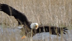 Metzger Marsh- Angry Eagle (Birderpics) Tags: bird eagle bald attacking magee4316
