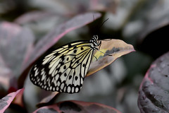 Papillons en Libert 2016 - Photo 45 (Le Chibouki frustr) Tags: macro butterfly insect nikon dof montral bokeh montreal butterflies insects fullframe fx botanicalgarden pdc jardinbotanique homa montrealbotanicalgarden hochelagamaisonneuve closeupfilter closeuplens jardinbotaniquedemontral d610 610 macrophotographie butterfliesgofree papillonsenlibert tamronspaf90mmf28dimacro nikond610 papillonsenlibert2016 butterfliesgofree2016 huitimevisite eighthvisit