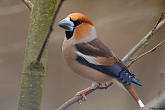 Kernbeißer (Coccothraustes coccothraustes) (waellerwildlife) Tags: bird nature birds fauna germany march spring fotografie wildlife natur birding vögel märz vogel frühling avifauna westerwald wied naturfotografie hachenburg ornithologie rhinelandpalatinate hawfinch kernbeisser grosbeccassenoyaux coccothraustescoccothraustes steinebach nister stenknäck dreifelderweiher appelvink burens bicogrossudo freilingen dreifelden westerwälderseenplatte frosone kernbeiser picogordo brutvögel brutvogel wölferlingerweiher postweiher wölferlingen hausweiher haidenweiher brinkenweiher hofmannsweiher freilingerweiher wolfgangburens wällerwildlife waellerwildlife obererwesterwald steinebachanderwied smatget