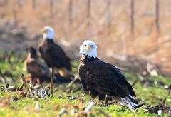 bald eagles near Cardinal Marsh IA 854A3156 (lreis_naturalist) Tags: county cardinal bald reis iowa larry marsh eagles winneshiek