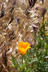 (daniel.hughley) Tags: statepark hiking mojave poppies wildflowers antelopevalley cran poppyreserve