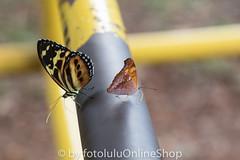 Argentinien_Insekten-49 (fotolulu2012) Tags: tierfoto