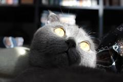 (Mikhail Nordhagen) Tags: cat eyes scotish