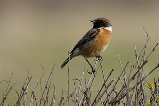 Stonechat (Explored 16-03-16)
