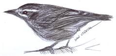 pajaro a lapicero (ivanutrera) Tags: bird animal pen sketch drawing ave pajaro draw dibujo ilustracion pjaro lapicero boligrafo dibujoalapicero dibujoenboligrafo