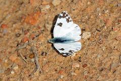 Bath White (pontia daplidice) Butterfly (Brian Carruthers-Dublin-Eire) Tags: white bath lepidoptera animalia arthropoda insecta pieridae pierinae bathwhite pontia pierini pontiadaplidice daplidice pdaplidice