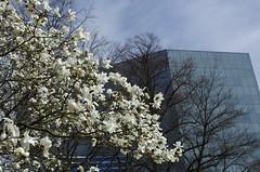 Magnolia (rotabaga) Tags: flowers gteborg pentax sweden gothenburg magnolia sverige blommor k5 polhemsplasten