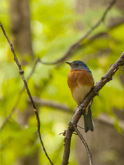 Resident Bluebird (5) (tommaync) Tags: blue trees usa brown white bird nature animal nc nikon wildlife beak northcarolina april bluebird pittsboro chathamcounty 2016 d40