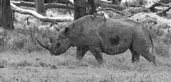 Black Rhino (howzey) Tags: africa kenya blackrhino lakenakuru