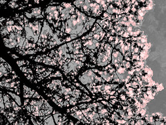 Pink Blossom and Grey Skies (Steve Taylor (Photography)) Tags: pink sky white black tree art silhouette contrast digital grey branch blossom
