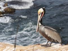 Classic pelican pose (das_miller) Tags: bird sandiego lajolla pelican brownpelican lajollacove shorebird pelecanusoccidentalis