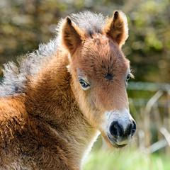 Exmoor Foal (3) (Adam Sibbald) Tags: wild nikon wildlife 300mm pony f4 pf exmoor foal d7200