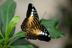Papillons en Libert 2016 - Photo 41 (Le Chibouki frustr) Tags: macro butterfly insect nikon dof montral bokeh montreal butterflies insects fullframe fx botanicalgarden pdc jardinbotanique homa montrealbotanicalgarden hochelagamaisonneuve closeupfilter closeuplens jardinbotaniquedemontral d610 610 macrophotographie butterfliesgofree papillonsenlibert nikond610 papillonsenlibert2016 butterfliesgofree2016 septimevisite seventhvisit
