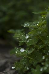 Raindrops () Tags: winter plants green rain lluvia gotas raindrops invierno clover aire clovers libre trebol treboles