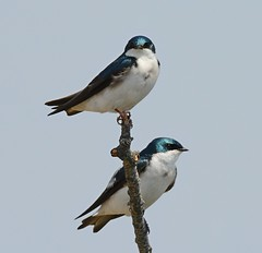 Pair of Tree Swallows (KoolPix) Tags: nature birds animal branch feathers snag swallows nationalgeographic naturephotography beaks treeswallows naturephotos amazingnature jayd naturephotographer mnsa fantasticnature animalphotographer marinenaturestudyarea koolpix jdiaz wonderfulbirdphotos jaydiaz jaydiaznaturephotographer wcswebsite
