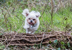 Scamp Action Shot (Wayne Cappleman (Haywain Photography)) Tags: dog colour photography jumping woodlands action wayne hampshire farnborough southwood haywain cappleman