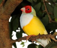 Gouldian Finch (Darts5) Tags: bird birds closeup canon finch upclose gouldian 7d2 ef100l 7dmarkii canon7d2 canon7dmarkii 7dmarkll canon7dmarkll 7d2canon gouldianfinck