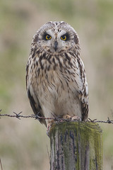 Close encounter with a short-eared owl (Jan-Kees de Meester) Tags: zeeland short owl polder eared asio ritthem shorteared flammeus velduil rammekenshoek