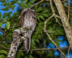 POTOO, Northern (Nyctibius jamaicensis) (teddcenter) Tags: bird jamaica mandeville potoo northernpotoo marshallspen manchesterparish