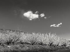 Two clouds (Bonsailara1) Tags: flowers sky blackandwhite espaa blancoynegro clouds cherry landscape spain blossom abril jerte extremadura castillaylen cerezos floracin bonsailara1