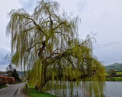 Weeping Willow (velodenz) Tags: uk england primavera nature public digital river photography photo shoot image britain south united great pussy picture kingdom pic gloucestershire willow photograph valley views fujifilm bud phot footpath avon printemps weeping 1000 springtime x30 glos 1000views saltford bnes banes velodenz
