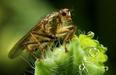 Fly (Little Boy 09) Tags: macro canon bug insect lens eos 50mm venus takumar f14 flash twin reversed objectif invers 60d macrodream laowa kx800 kuangren