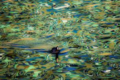 varied pattern (ToDoe) Tags: reflection bird water swimming wasser waves pattern disturbing disturbed reflexion spiegelung muster variation vogel varied wellen fulicaatra bläshuhn blackcoot variiert