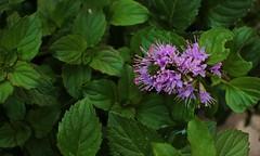 Mentha spicata (Carlos Ivovic O.) Tags: yerbabuena spearmint lamiaceae hierbabuena floraadvenadechile