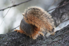 Portrait of a Tail 04072016 (Orange Barn) Tags: tree squirrel wildlife tail barebranches pekinillinois mineralspringspark pekinparkdistrict