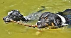 ~~En fait, c'est pas mal  deux !!!~~ (Jolisa) Tags: two motion dogs eau deux nage mouvement chiens bton hlna avril2016