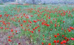 Coquelicots  l'infini (Iris.photo@) Tags: nature printemps steppe coquelicots ouzbkistan