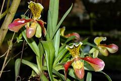 Paphiopedilum (betadecay2000) Tags: ladies plant orchid flower fleur lady outdoor pflanze blumen ladys bloom reginae orchidee blume blte insekt slipper tier schmetterling paphiopedilum orchide blten anggrek orqudea orchideen orchidea cypripedium frauenschuh orkide blhen pantoffel  botanisch orkidea   orhidee  totalphoto pantoffelblume blht  orhideja orkideo orchidej      orchieen  erdorchidee  terristisch terristische
